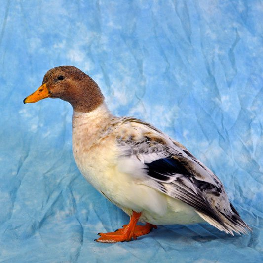Ducks ‐ The Poultry Club of Great Britain